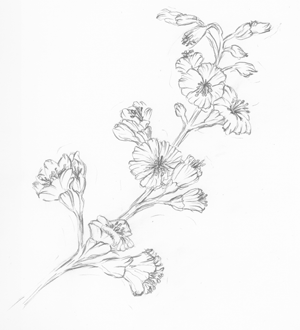 Illustration - Bachblüte